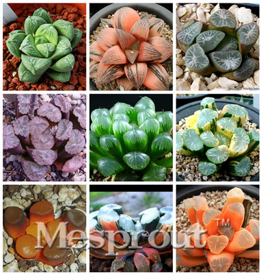 100pcs-Bonsai-Seeds-Green-Haworthia-Truncata-Flower-Pots-Planters-Succulent-Plants-Seeds-for-Home-Garden.jpg