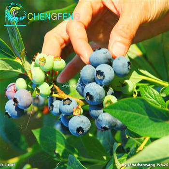 AMERICAN-BLUEBERRY-Fruit-Seeds-Germination-95--10-BLUEBERRY-Seeds-free-shipping.jpg